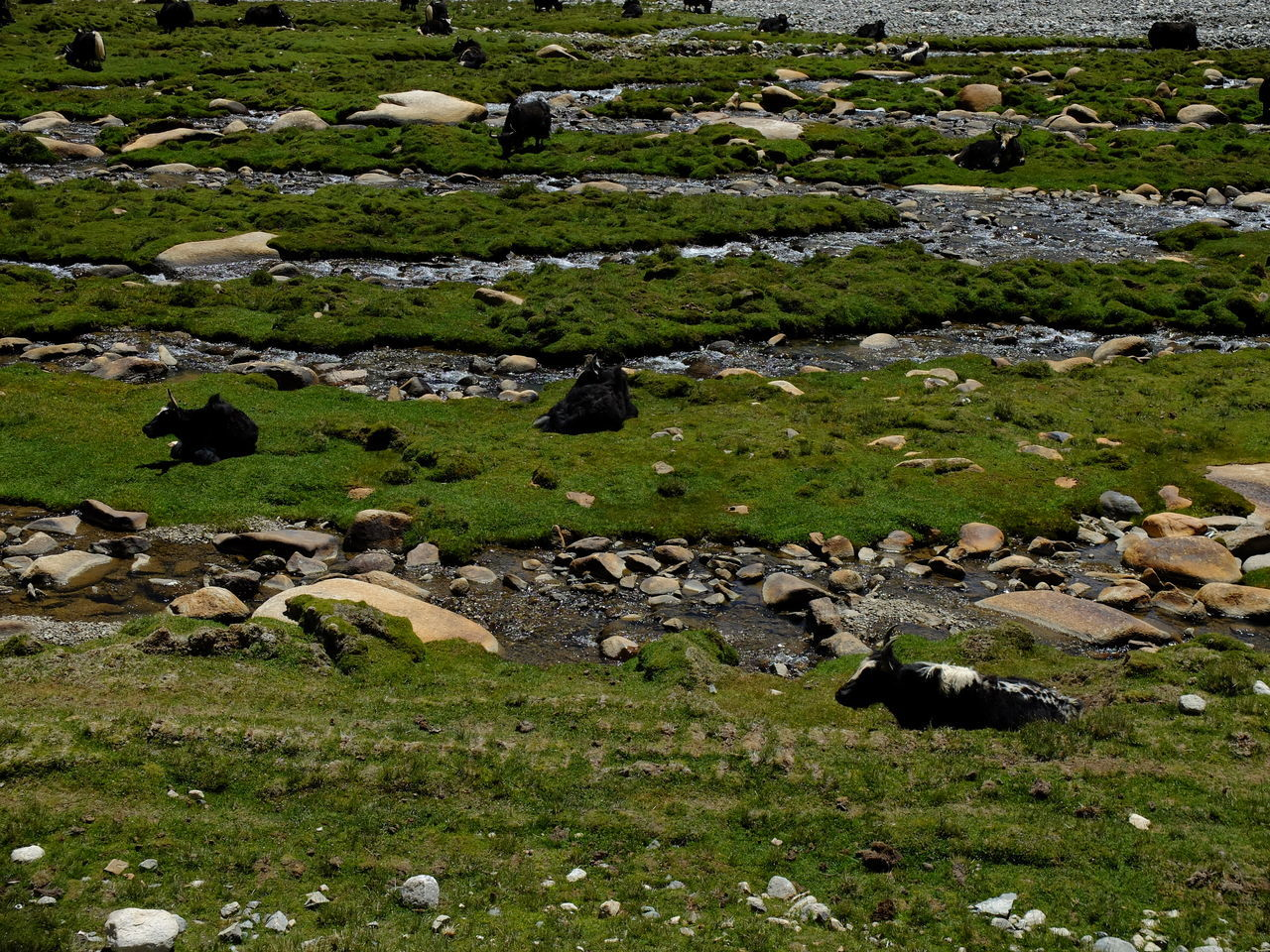 Agriculture Animal Themes Beauty In Nature Day Field Flock Of Sheep Grass Grazing Green Color Jammu And Kashmir Large Group Of Animals Leh Ladakh Mammal Nature No People Outdoors Rural Scene Scenics Sheep
