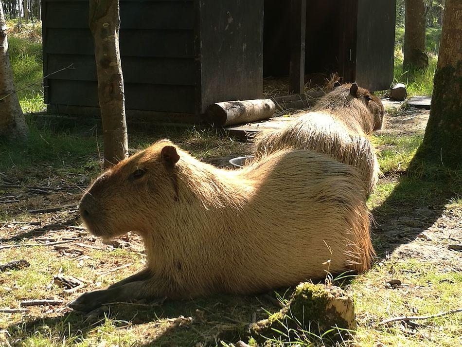 Animal Themes Outdoors Zoology Mammal Capibara Landgoed Clingendael