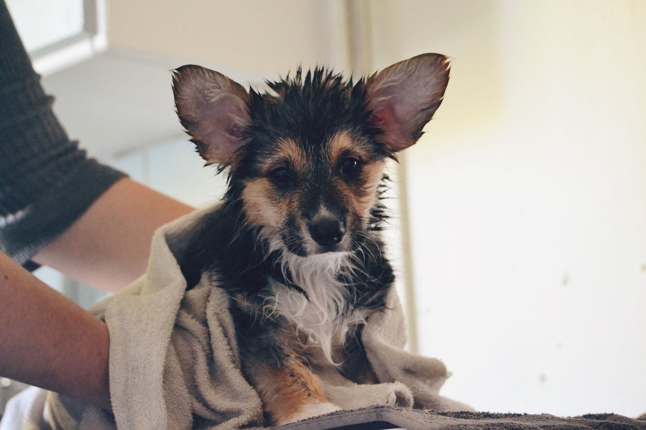 Cute corgi pup Pets Domestic Animals Dog One Animal Animal Themes Human Hand One Person People Pet Corgi Corgi Pembroke Pembroke Welsh Corgi Pembroke Caring Cute Wet Adorable