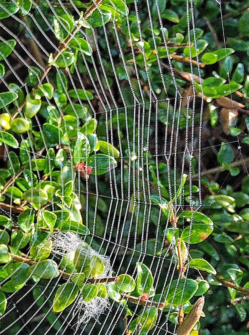 one animal, spider web, animal themes, spider, animals in the wild, nature, web, outdoors, animal wildlife, day, close-up, green color, no people, beauty in nature, water, fragility