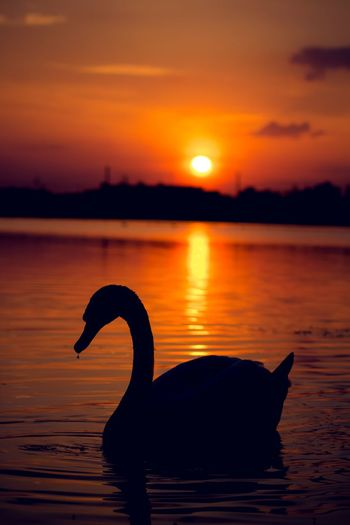 Animal Themes Animals In The Wild Beauty In Nature Lake Lake View Lakeview Nature No People Outdoors Red Silhouette Sunset Sunset Silhouettes Sunset_collection Swan Swan Silhouette Swans Swans On The Lake Swans Swimming Swimming Water Market Bestsellers 2016 Bestsellers Market