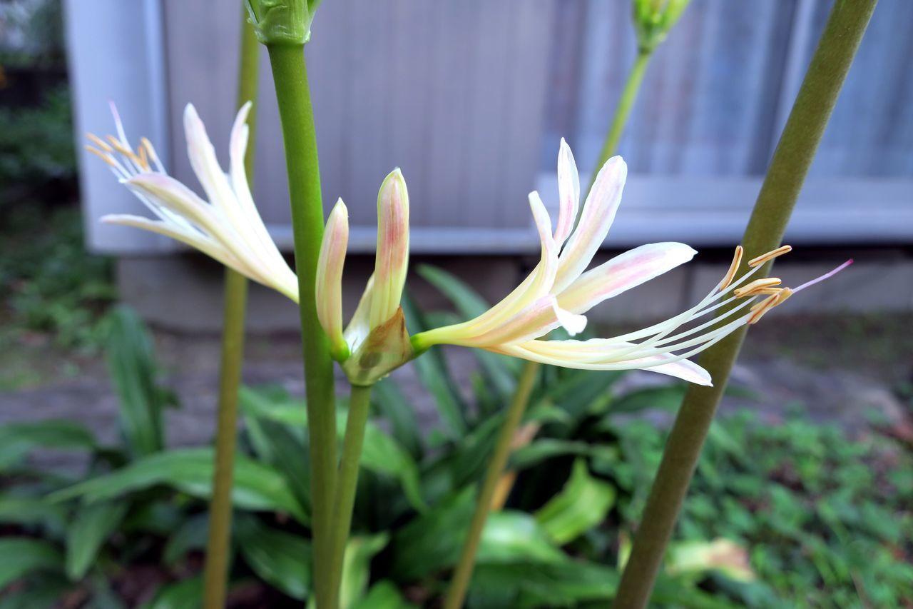 まだまだ蕾 Redspiderlily Flower Freshness Close-up Plant Focus On Foreground Beauty In Nature Selective Focus Nature Fukuoka,Japan City Life Canon Powershot G9X Beauty In Nature Nature Flower Head Plant Growth Freshness Green White Color White White Flowers