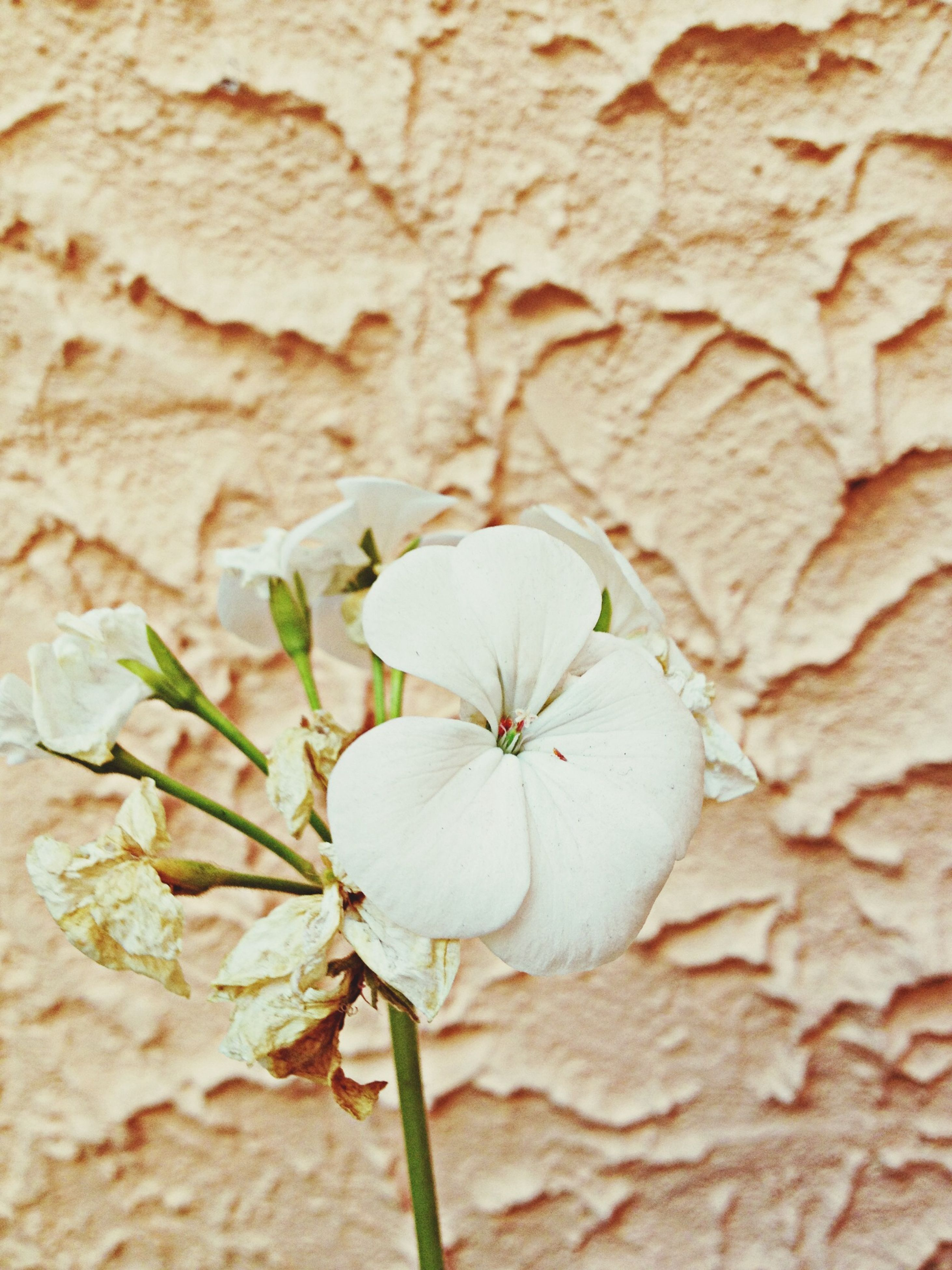 flower, fragility, freshness, close-up, petal, flower head, growth, nature, focus on foreground, beauty in nature, single flower, plant, stem, botany, day, outdoors, high angle view, no people, blooming, white color