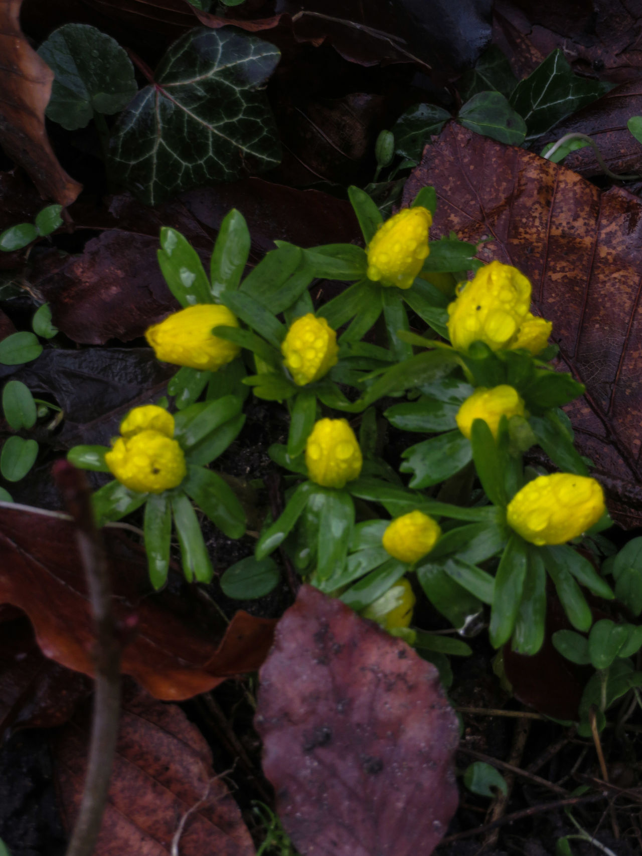 Growth Yellow Leaf Nature Close-up Plant Freshness Green Color Outdoors Beauty In Nature Eranthis