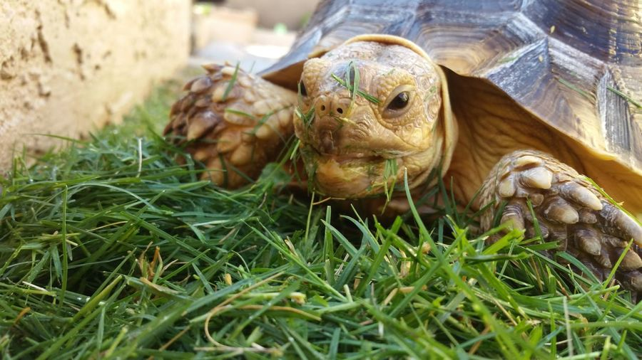 Sulcata Tortoise Grass Messy Colour Of Life