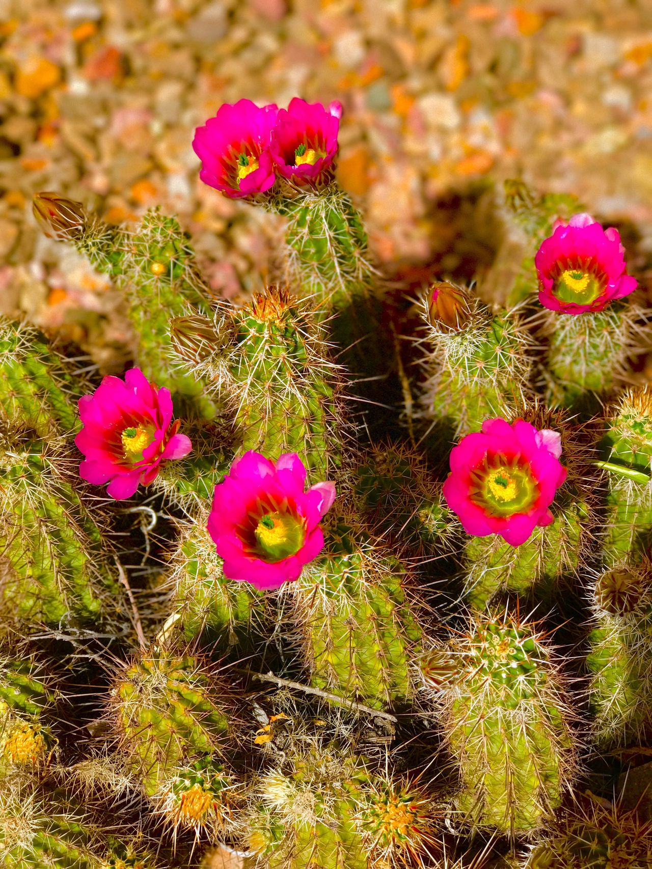 Beauty In Nature EyeEmNewHere Arizona Cactus Oro Valley Tucson Arizona  Millennial Pink Check This Out