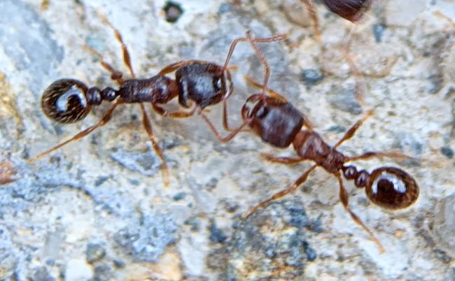 Ants Insects  Hymenoptera Formicidae Vespoidea Macro Insect Close-up Extreme Close-up Invertebrate Arthropod