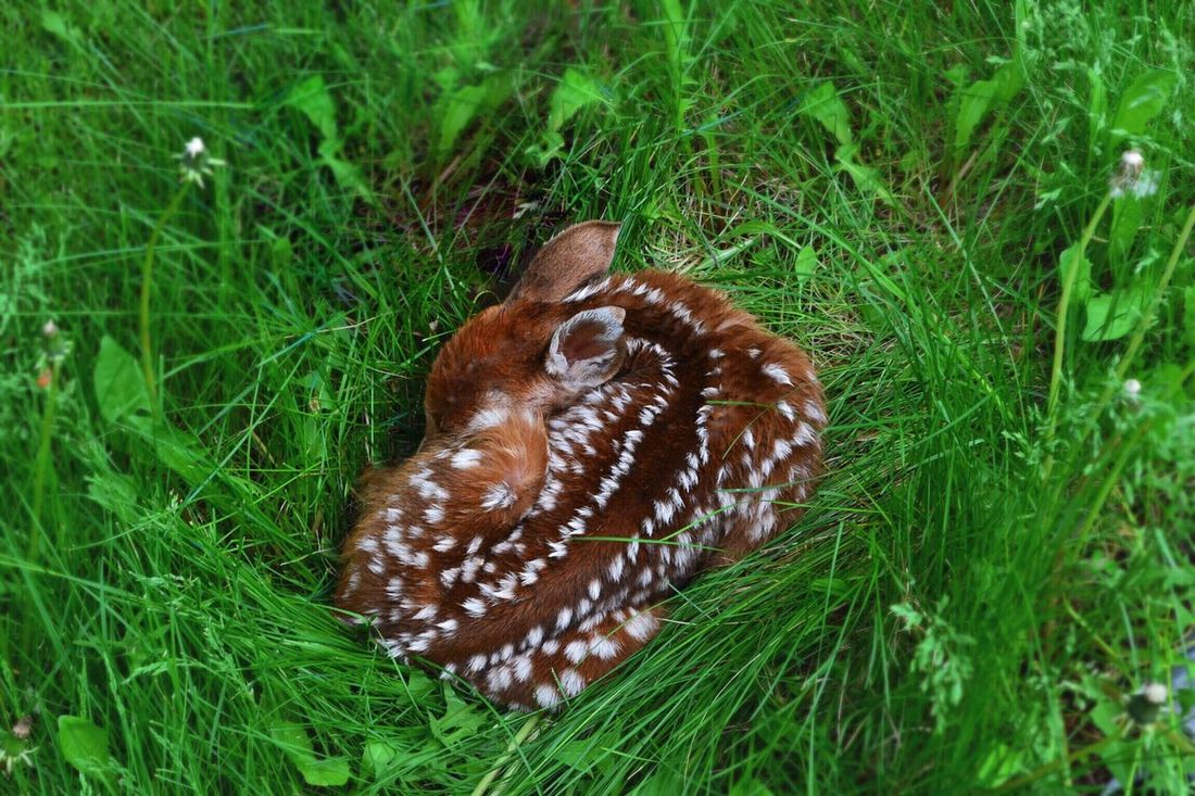 What luck! Baby Deer Baby Animals Deer Fawn Fawn Sleeping Curled Up Nature's Diversities Outdoor Pictures Green Grass Fawn Lying In The Grass The Great Outdoors - 2016 EyeEm Awards The Essence Of Summer Cute Animal Cute Baby Animals Sleeping Deer Fawn Spots White Spots Lucky Shot The Great Outdoors - 2017 EyeEm Awards