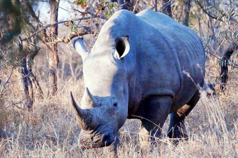 Rino Rinoceronte Rinocerontes