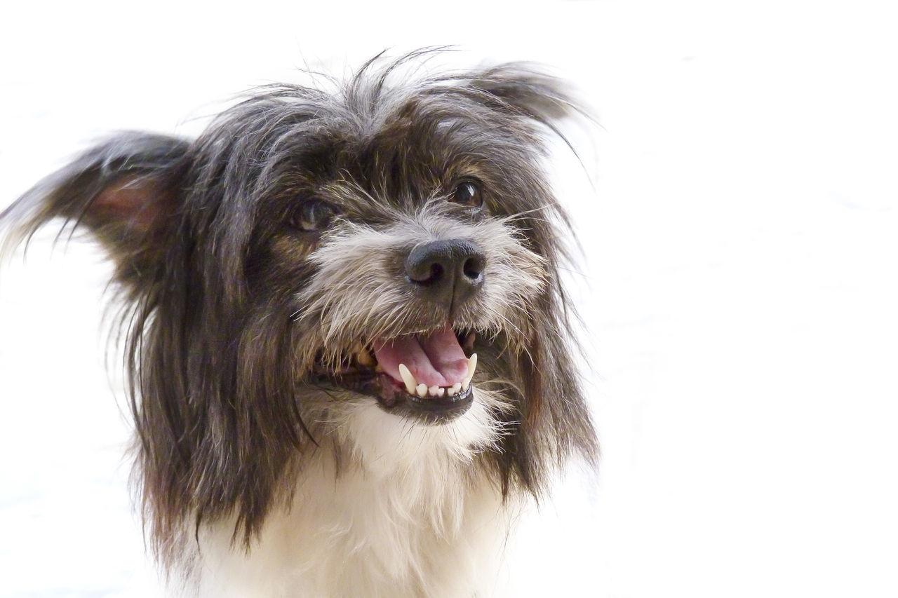 Animal Hair Animal Themes Close-up Dog Domestic Animals Mammal Old Dog One Animal Pets White Background