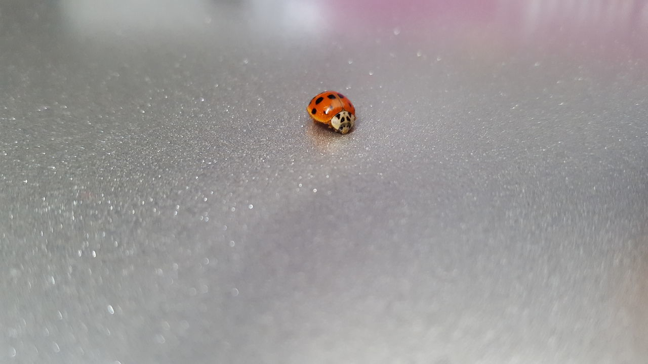 one animal, animal themes, animals in the wild, animal wildlife, close-up, ladybug, tiny, insect, no people, day, nature, outdoors