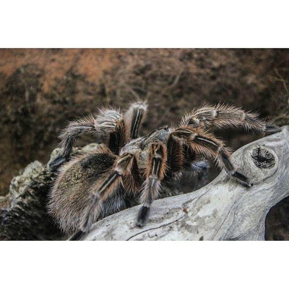 Incy wincy spider Tarantula Redkneetarantula Spider Arachnid Blueplanetaquarium Huge
