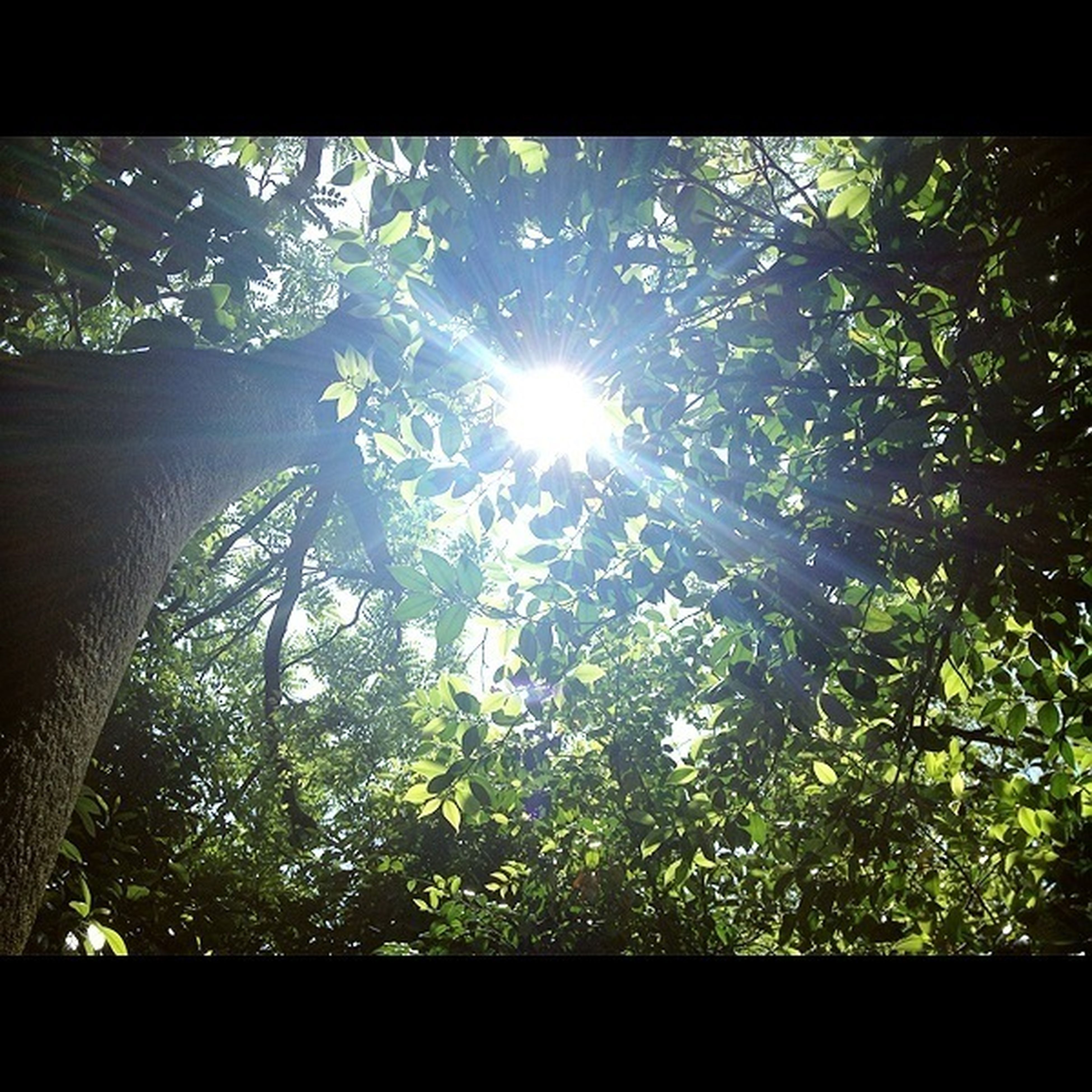 tree, low angle view, growth, sun, branch, sunlight, sunbeam, nature, transfer print, beauty in nature, tranquility, lens flare, auto post production filter, green color, sky, day, forest, leaf, no people, sunny