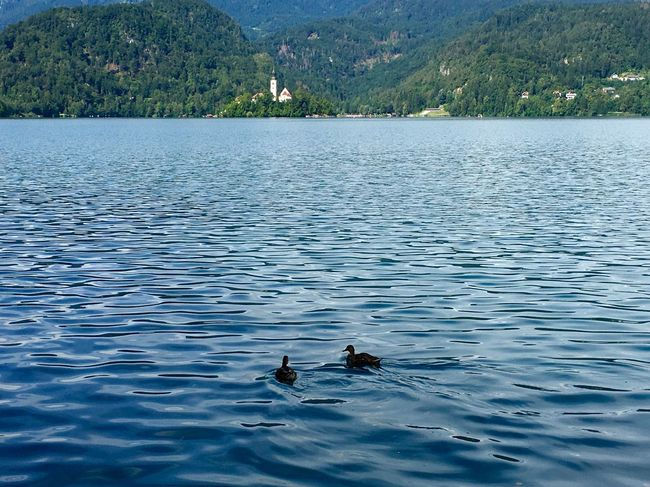 Bled Lake Bled, Slovenia Travel Holiday Water Lake Mountain Duck Swimming Wildlife Waterfront Tranquility Tranquil Scene Island Church Hidden Gems  Reflection Alps Slovenian Alps Slovenia Two Is Better Than One