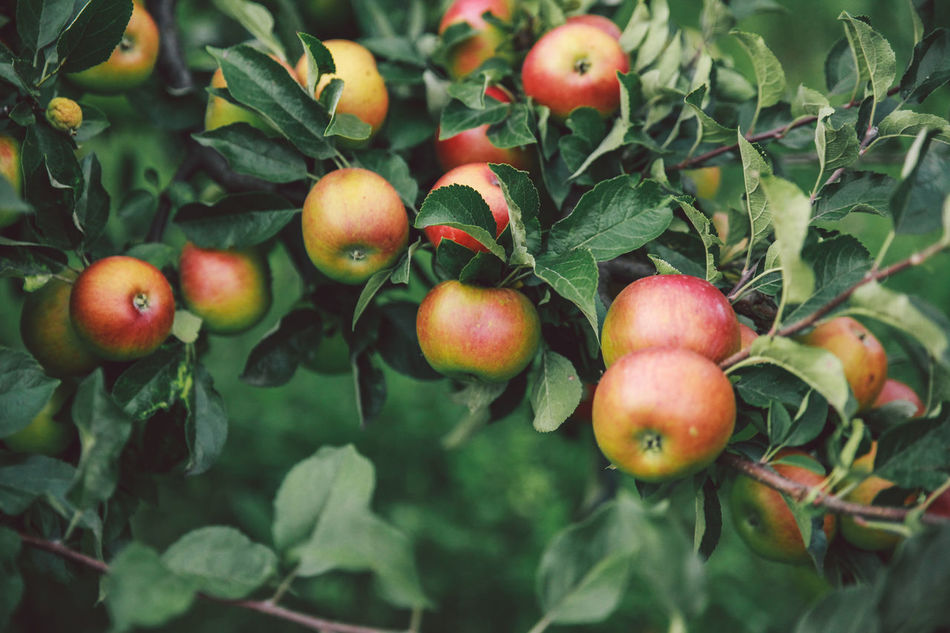 Beautiful stock photos of apple, Apple - Fruit, Apple Tree, Bistriţa, Close-Up