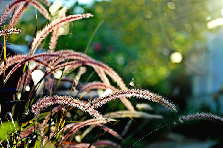 Beauty In Nature Close-up Day Focus On Foreground Grass Green Color Growth Nature Outdoors Plant Purple Purple Fountain Grass Purple Plant Selective Focus Sunset Texas Tranquility