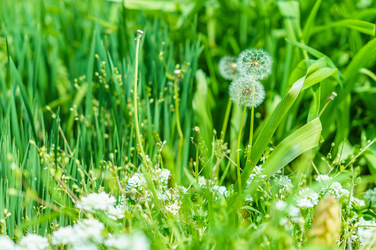 growth, nature, flower, plant, green color, grass, beauty in nature, field, freshness, no people, outdoors, fragility, day, close-up, blooming, flower head