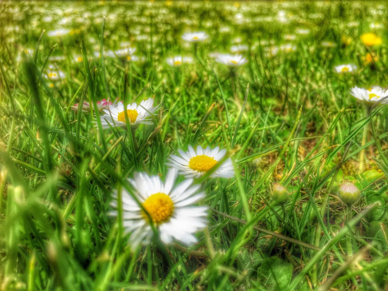flower, grass, growth, nature, field, petal, beauty in nature, freshness, flower head, delicate, fragility, blooming, plant, uncultivated, no people, outdoors, close-up, day