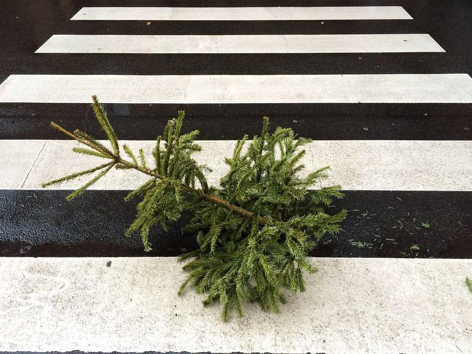 Beautiful stock photos of weihnachtsbaum, Asphalt, Chopped, Christmas Tree, Crosswalk