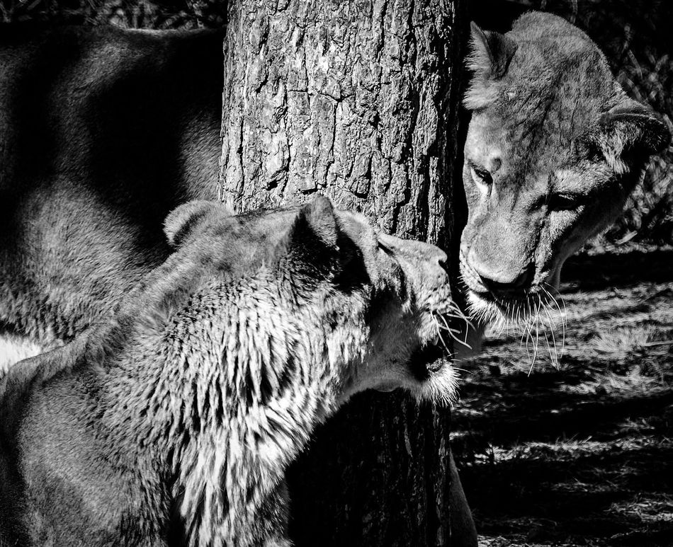 Lions Animal Themes Animals In The Wild No People Outdoors Nature Tree Lions Togetherness Welcome To Black Serengeti-Park, Hodenhagen Blackandwhite Long Goodbye