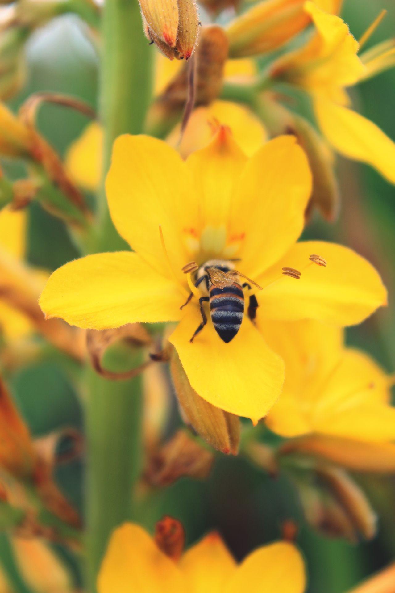 Bee Flower Flowers Biene Kirstenbosch Yellow Flower Yellow Yellow Flowers