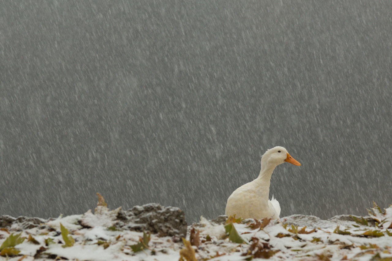 duck waddling in a snow storm Animals Bolu  Duck Lake Leaves Mountains Nature No People Outdoors Snow Snowfall Snowing Sünnet Gölü Turkey Waddling Waddling Ducks