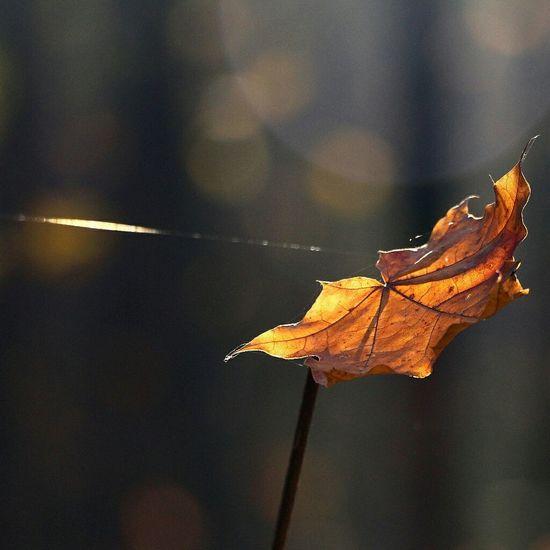 Fall Fall Leaves Bokeh Bokeh Photography Bokehlicious Macro Macro_collection Macroclique Light And Shadow Beautiful