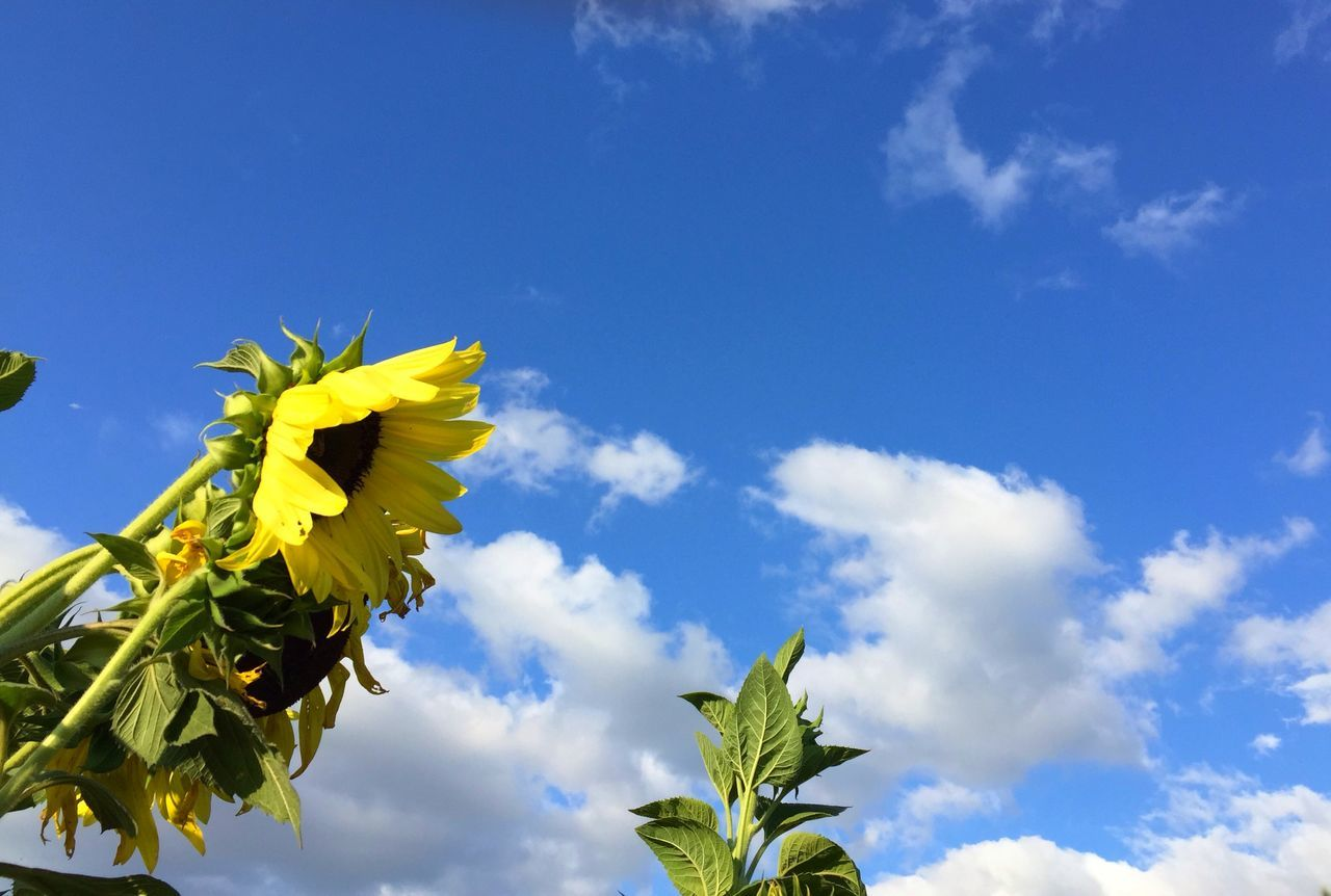 The sky is my inspiration. Sunflowers Sky Clouds Flowers OpenEdit Nature At Your Doorstep ILoveMyCity