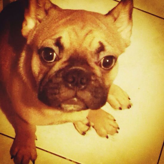 Frenchie I Love My Dog My French Bulldog <3