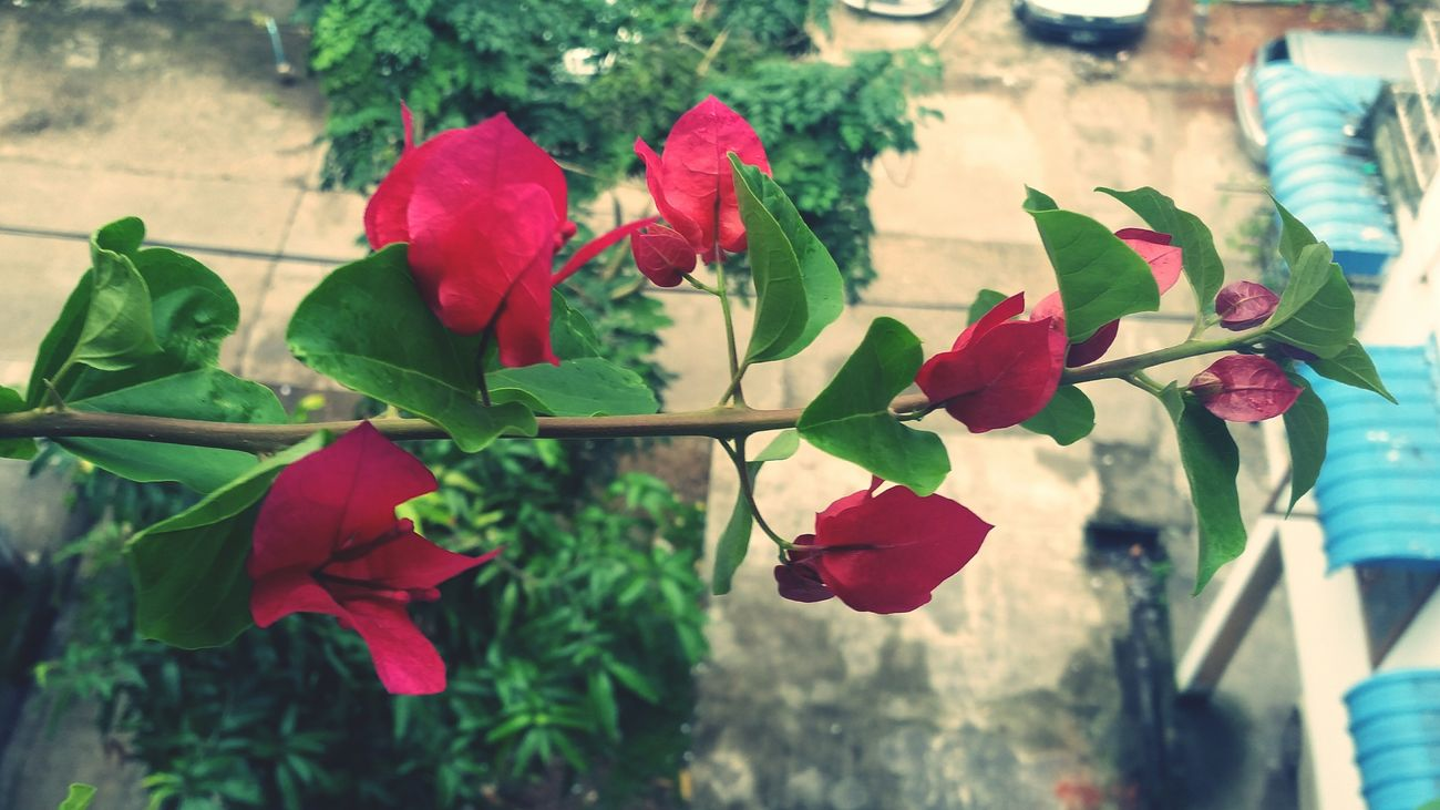 MyFirst Bougainvillas Sweetmorning