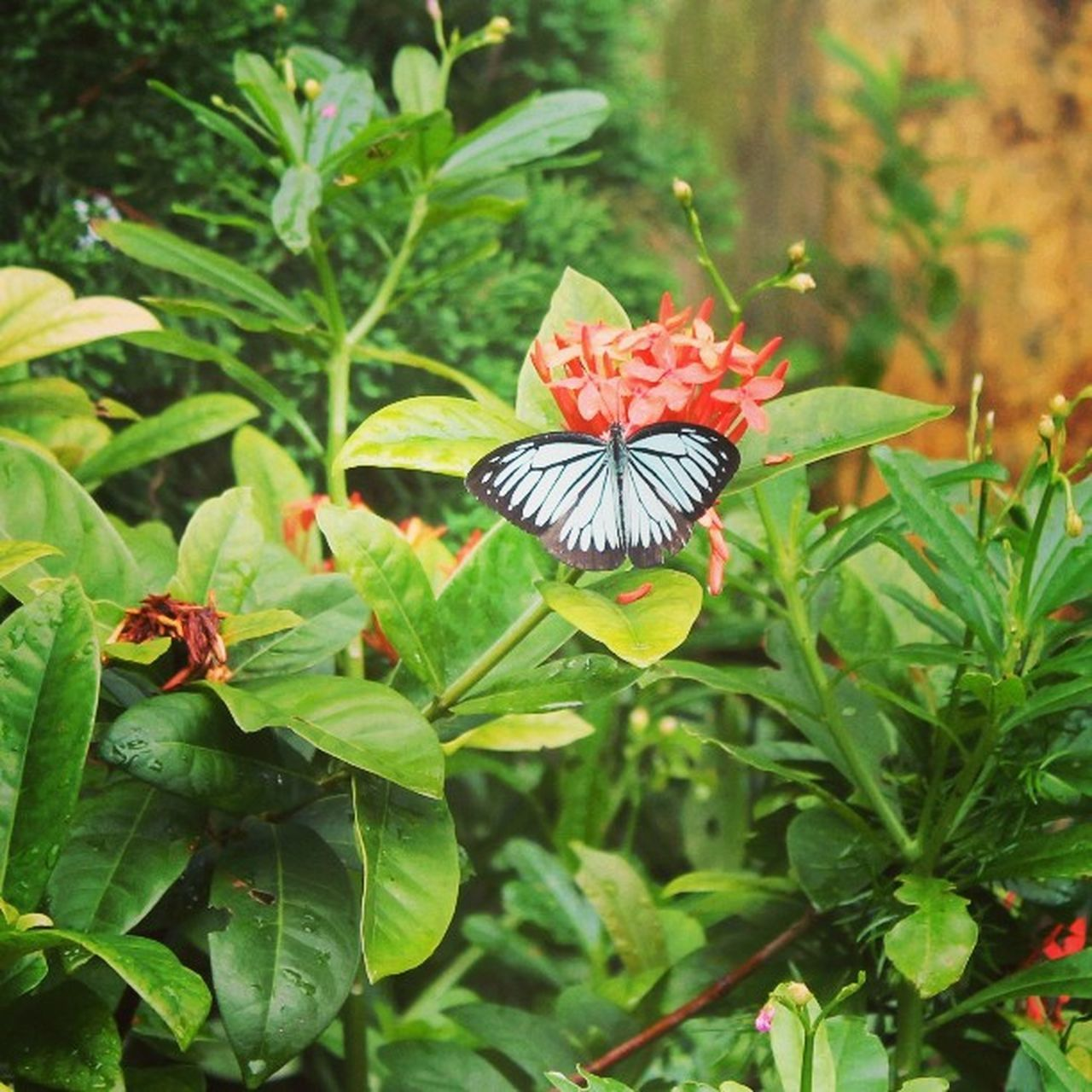 Butterfly Nguhanhson Bufferfly Beautiful Nice View