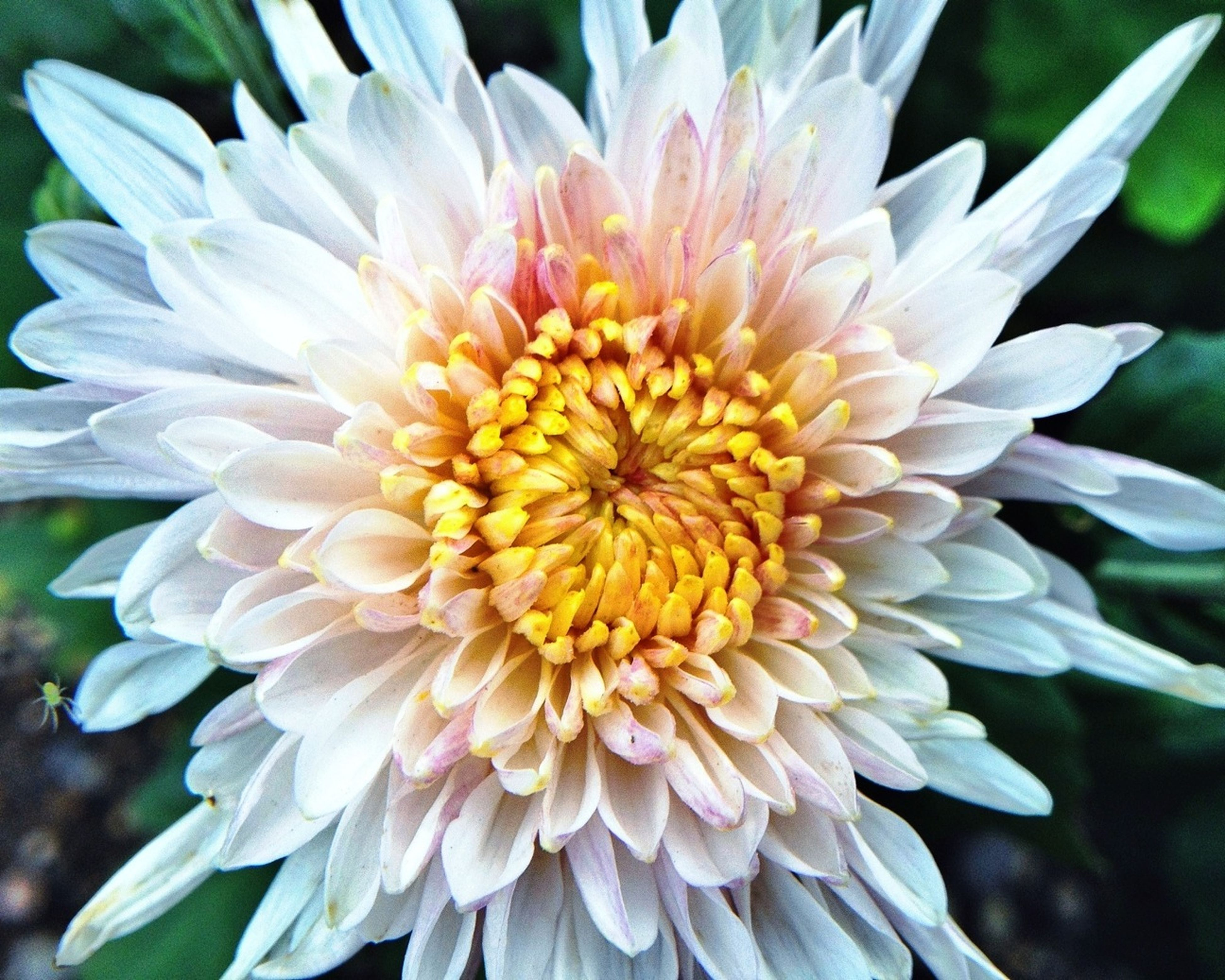 flower, petal, freshness, flower head, fragility, beauty in nature, growth, close-up, blooming, pollen, nature, single flower, focus on foreground, plant, white color, in bloom, dahlia, park - man made space, no people, day