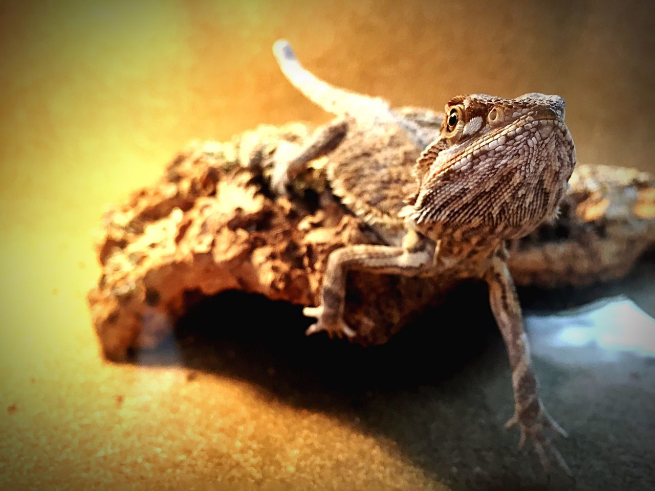 Stumpy Bearded Dragon Lizard Check This Out Enjoying Life Dragons Bearded Dragons Pets Beard Hello World Dragon Wood