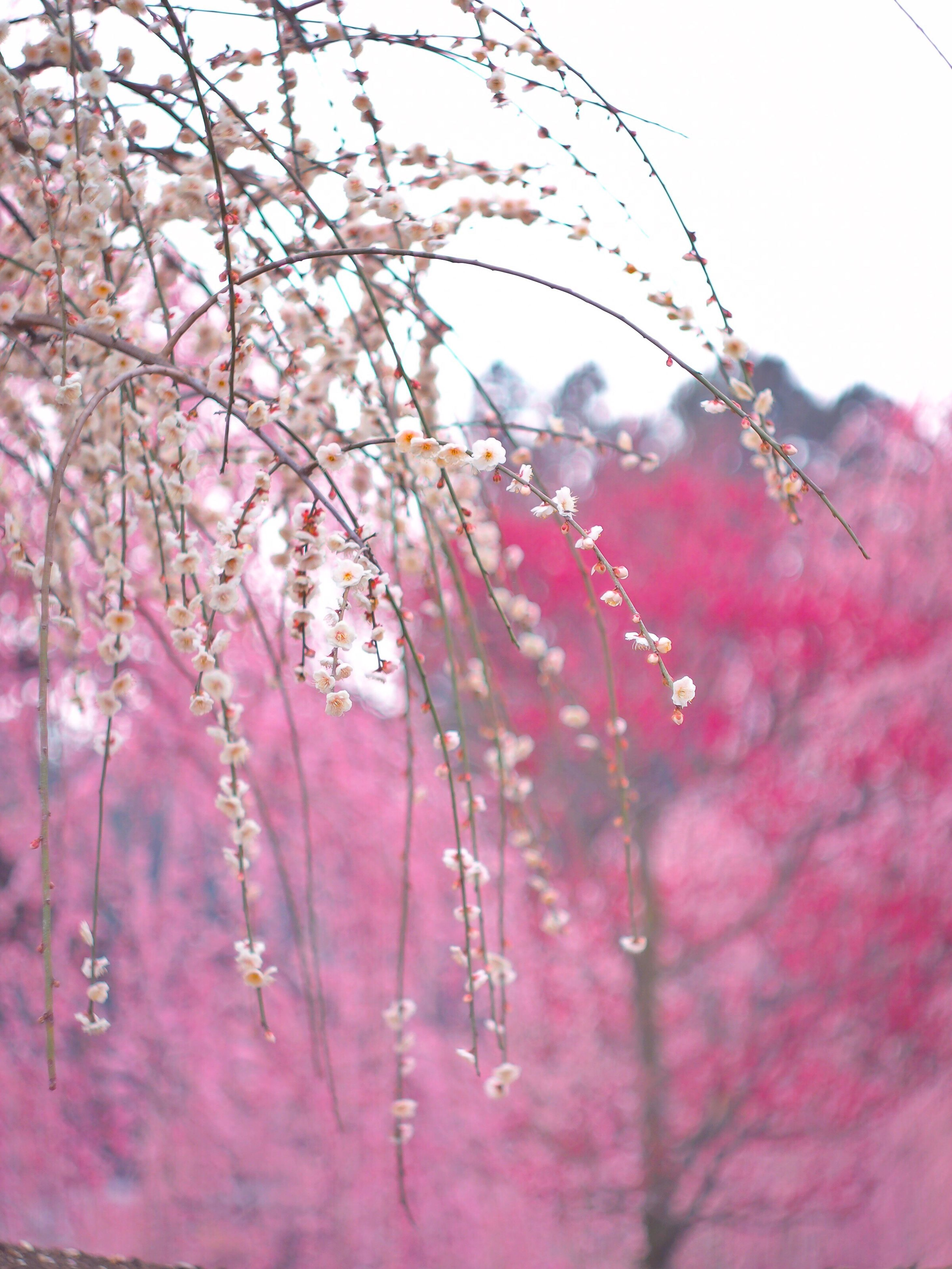 flower, fragility, freshness, growth, petal, beauty in nature, pink color, close-up, nature, focus on foreground, selective focus, plant, stem, blossom, in bloom, flower head, blooming, botany, red, twig