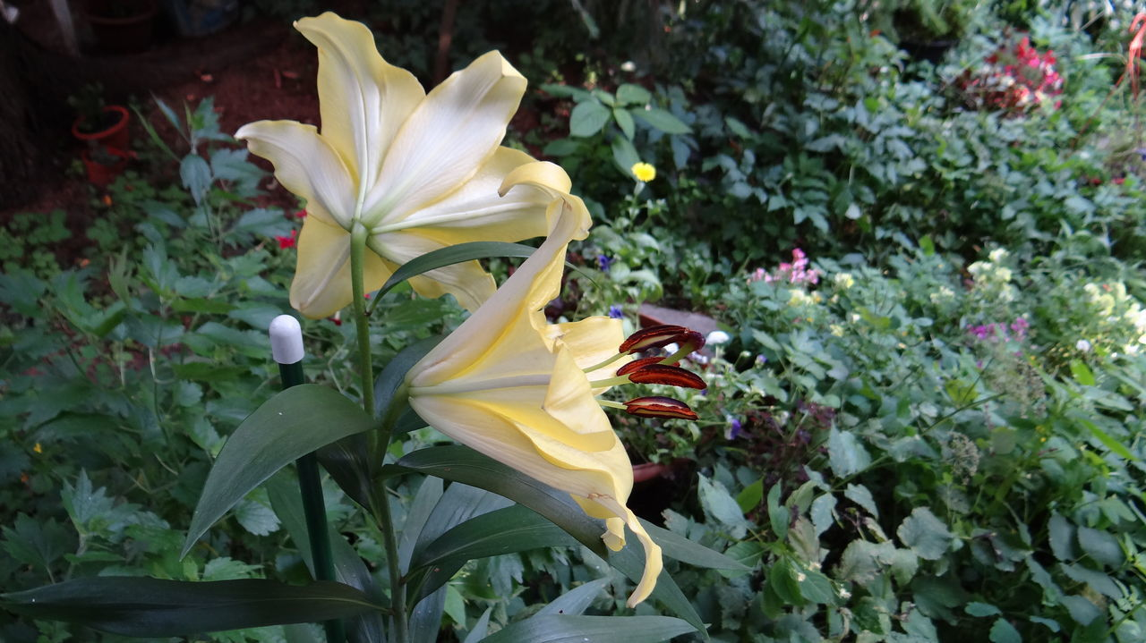 My favorite Lily I can shoot for hours... Close Up Flower Flowers Flowers, Nature And Beauty Flowers,Plants & Garden Focus On Foreground Lilies Macro Macro Beauty Macro Nature Macro Photography Macro_collection Macro_flower Macroclique Macrophotography Nature Pistil Stamen Summer Summer Views Summertime Yellow Yellow Flower Yellow Flowers Yellow Leaves