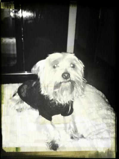 Yorkshire Happydog Perrete Guau