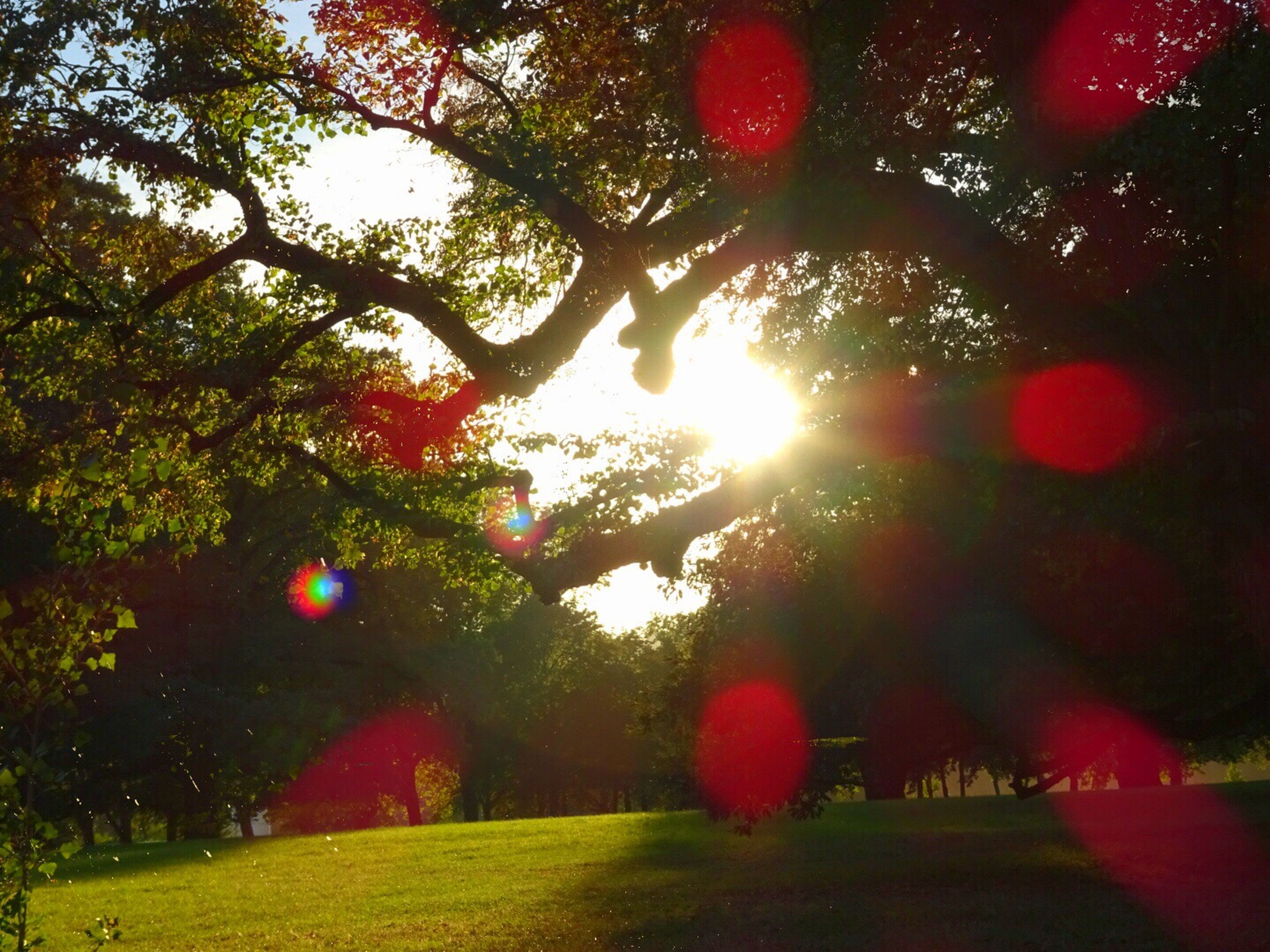 tree, sun, sunlight, lens flare, tranquil scene, growth, landscape, tranquility, park - man made space, branch, sunbeam, scenics, nature, beauty in nature, bright, glowing, green color, flower, day, non-urban scene, sunny, park, agriculture, freshness, sky, outdoors, red, back lit