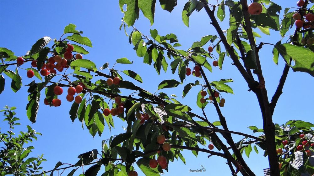 Kirschblüte Kirschen  Kirschbaum Kirschblütenfest Tree Low Angle View Nature Blue Growth Leaf Sky Day Outdoors Beauty In Nature No People Green Color Plant Branch Clear Sky Fruit Freshness