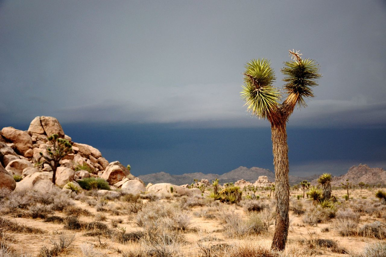 Arizona Tree Palm Tree Tranquility Nature Outdoors Beauty In Nature Scenics Travel Destinations Desert Landscape Day No People Sky Plant Full Frame Arizona Landscape Joshua Tree National Park