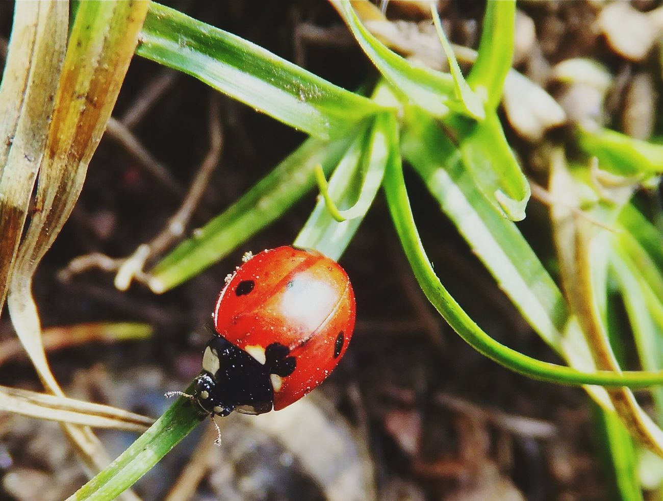 Maximum Closeness Ladybug Close-up Insect Beauty In Nature Fragility Grass Blades Outdoors Peace And Quiet I Love Nature Inspiration Life Lovely Day Tranquility Ladybugmacro