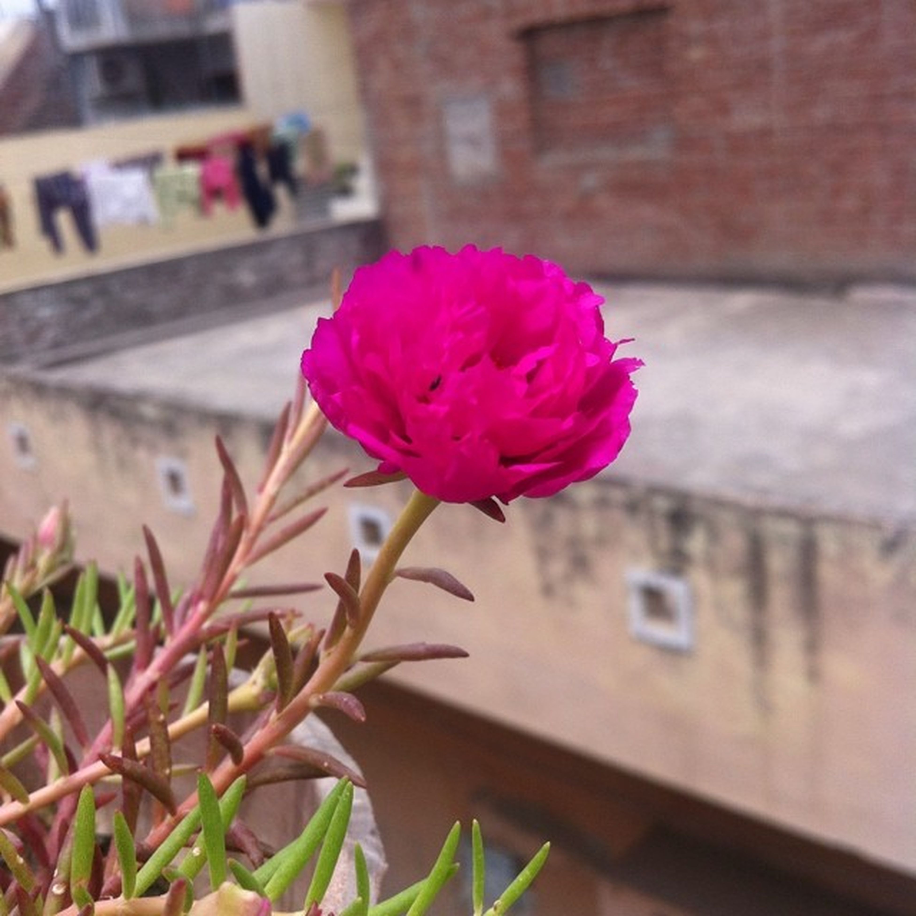 flower, petal, freshness, fragility, flower head, pink color, focus on foreground, close-up, growth, beauty in nature, blooming, single flower, stem, nature, leaf, plant, rose - flower, built structure, building exterior, pink