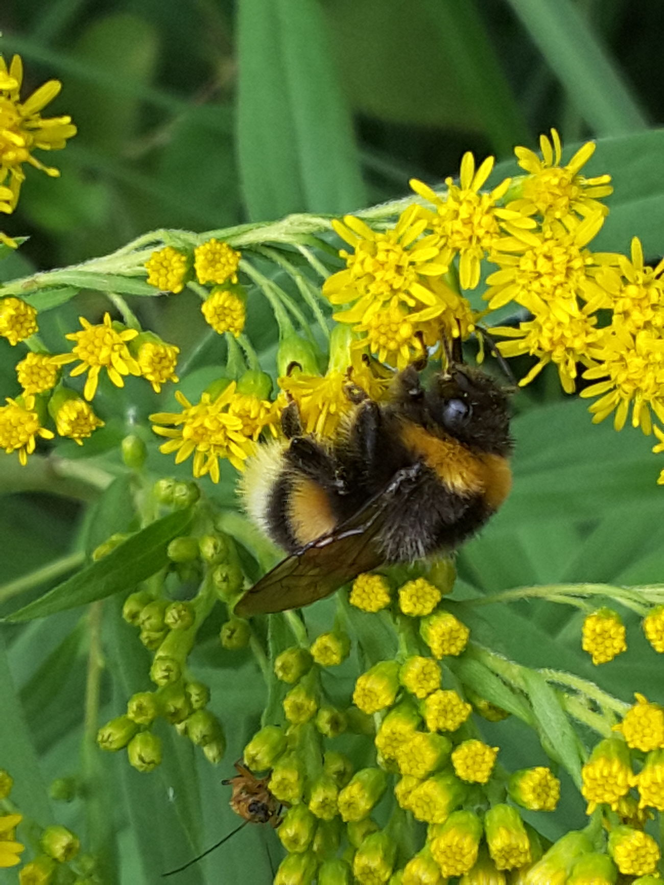 Bumblebee Solidago Summer Flowers Forest Yellow