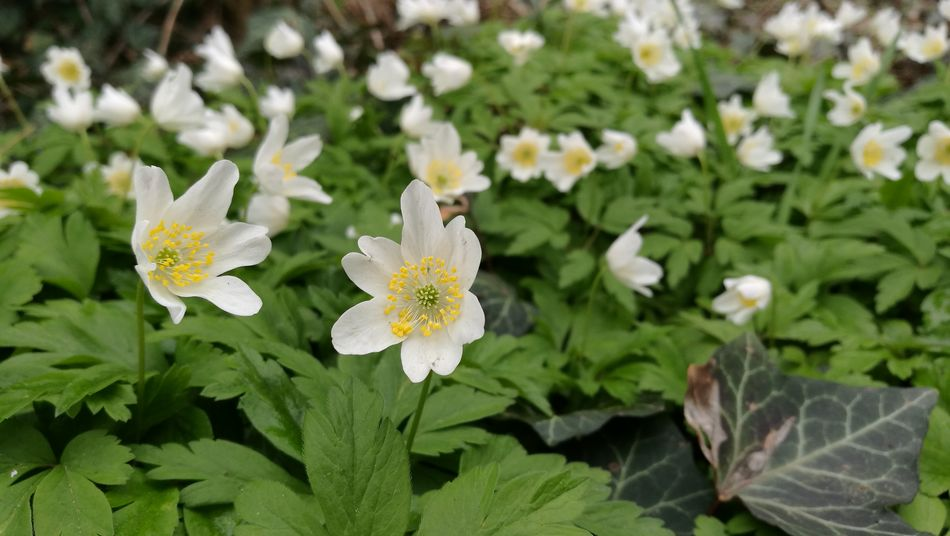 Nature Growth Flower Leaf Beauty In Nature Plant Green Color No People Outdoors Freshness Flower Head Day Close-up Fragility Wood Anemone