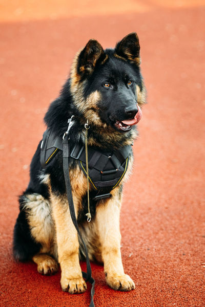 Young Puppy Black German Shepherd Dog Sitting On Ground Alsatian Wolf Dog Breed EyeEmNewHere Obedience Police Dog WeAreJux Alsatian Animal Themes Cloth Dog Domestic Animals Full Length No People One Animal Pedigree Dog Pets Puppy Special Training