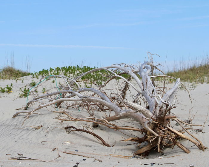 Beach Branch Day Dead Tree Driftwood Dunes Environment Landscape Nature No People Outdoors Outer Banks, NC Plant Sand Scenics Sea Sky Tree