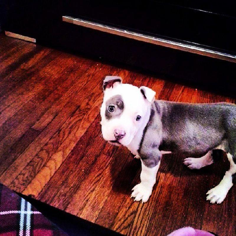 Pitbull MOOMOO Cute Doglovers photooftheday mana mana :)