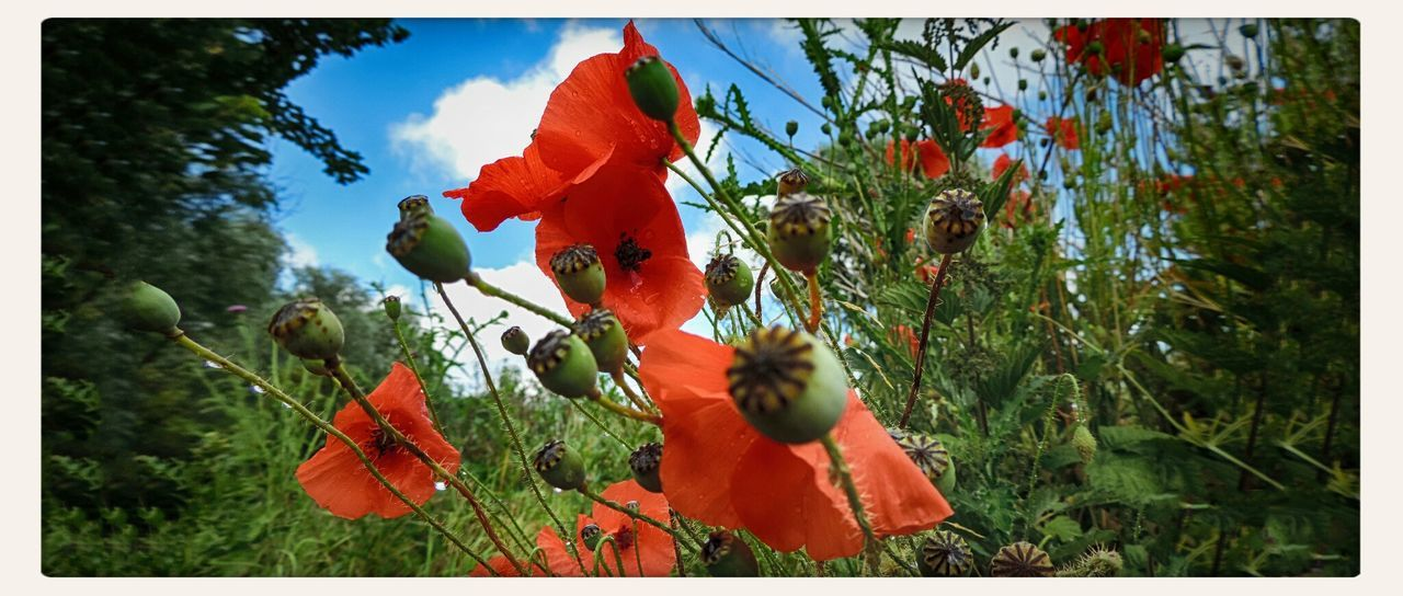 growth, nature, plant, beauty in nature, outdoors, day, no people, tranquility, flower, poppy, tree, red, freshness, fragility, sky, close-up, blooming