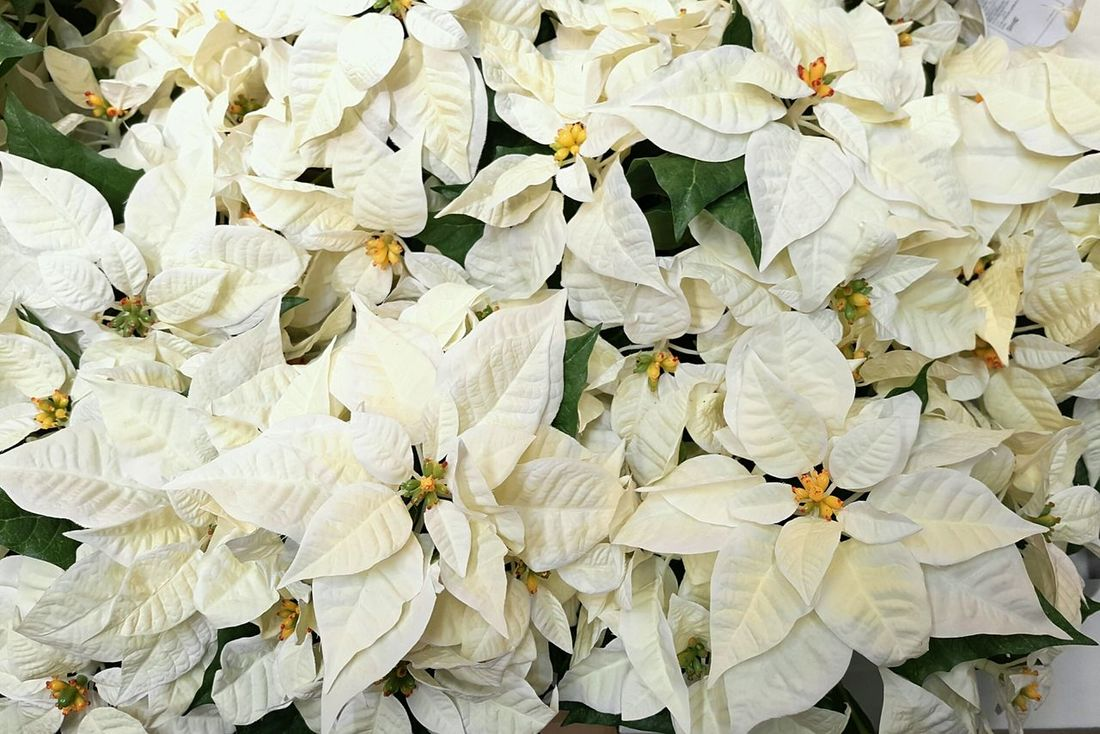Nature Beauty In Nature Growth Backgrounds White Color No People Plant Tree Leaf White Poinsettia