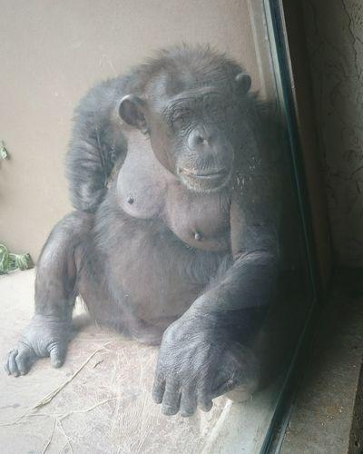 Chimpanzee at St Louis Zoo Missouri