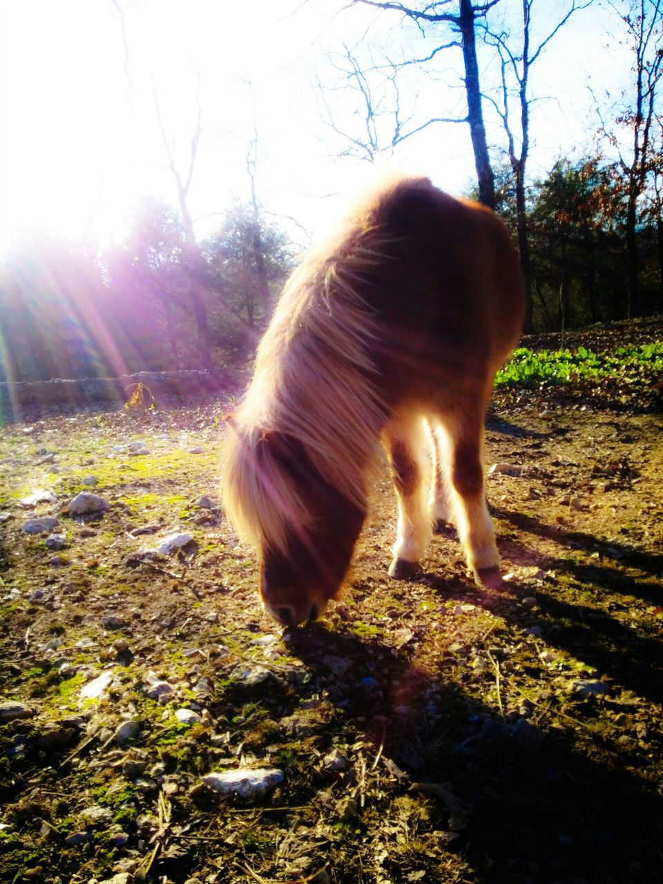 one animal, animal themes, domestic animals, mammal, field, sunlight, pets, nature, day, tree, shadow, full length, grass, standing, outdoors, no people, sky